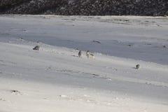 山野兔,天兔座timidus,坐在雪在一个倾斜在cairngorm国家公园在冬天期间, 2月 图库摄影