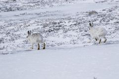 山野兔,天兔座timidus,开会,跑在雪的一个晴天在冬天期间在cairngorm国家公园, s 库存图片