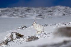 山野兔,天兔座timidus,开会,跑在雪的一个晴天在冬天期间在cairngorm国家公园, s 库存照片