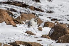 山野兔,天兔座timidus,清洗在雪的一个晴天在冬天期间在cairngorm国家公园,苏格兰 免版税库存图片