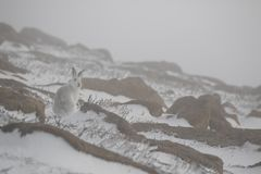山野兔,天兔座timidus,狂放在一个倾斜在cairngorms国家公园在苏格兰在一个2月冬日期间 云彩 免版税库存图片