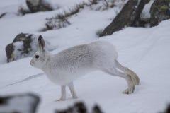 山野兔,天兔座timidus,狂放在小组和赛跑在雪在冬天, 2月在cairngorms国家公园,苏格兰 图库摄影
