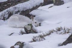 山野兔,天兔座timidus,狂放在小组和赛跑在雪在冬天, 2月在cairngorms国家公园,苏格兰 免版税库存图片