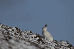 山野兔,天兔座timidus,画象的关闭,当坐,放置在雪在冬天/夏天外套的冬天期间在autumn/wi期间时 免版税库存照片