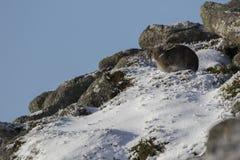 山野兔,天兔座timidus,画象的关闭,当坐,放置在雪在冬天/夏天外套的冬天期间在autumn/wi期间时 库存图片