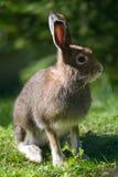 山野兔(拉特银币。 天兔座timidus) 免版税库存图片