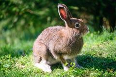 山野兔(拉特银币。 天兔座timidus) 免版税库存照片