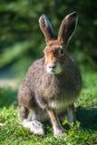 山野兔(拉特银币。 天兔座timidus) 库存照片