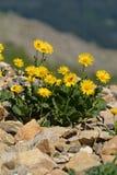 山金车蒙大拿(多榔菊属植物Grandiflorum) 库存图片