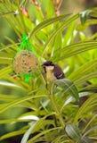山雀和种子 库存图片