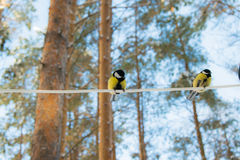 山雀在冬天森林里 库存照片