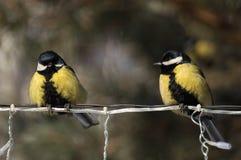 山雀在森林在冬天 免版税库存照片