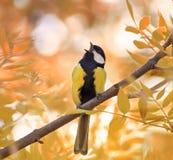 山雀在秋天森林里唱一首歌曲在晴天 库存图片