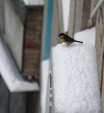 山雀坐在雪 免版税图库摄影