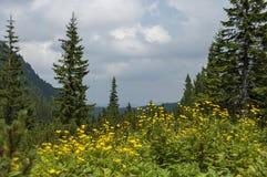山顶面长满与具球果森林、沼地和山金车或者狂放的黄色花在生态步行往Maliovitz 免版税库存照片