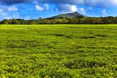 山麓小丘maurritius种植园茶 免版税图库摄影