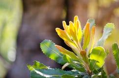 山龙眼serrata被加锯齿的à¸'brown叶子在澳大利亚森林的 库存照片