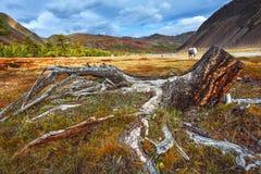 山,与根的树桩在秋天干草原 免版税库存图片