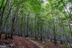 黑山,山毛榉树丛 图库摄影