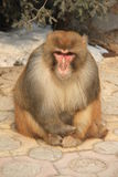 山猴子感觉的寒冷 图库摄影