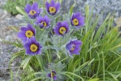 山Pasqueflower (白头翁属蒙大拿) 免版税图库摄影
