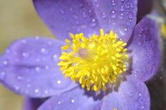 山Pasqueflower (白头翁属蒙大拿) 库存图片