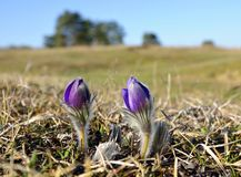 山Pasqueflower (白头翁属蒙大拿) 免版税库存图片