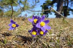 山Pasqueflower (白头翁属蒙大拿) 库存照片