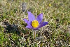 山Pasqueflowers (白头翁属蒙大拿) 免版税库存图片
