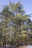 113岁东部杉木松属strobus树 免版税图库摄影