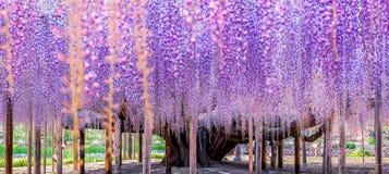 150岁伟大的紫藤 免版税库存照片