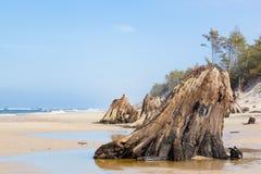 3000岁在海滩的树干在风暴以后 Slowinski国家公园,波罗的海,波兰 免版税库存照片