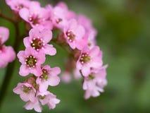 岩白菜属花大象有耳的saxifrage,大象` s耳朵桃红色开花  免版税图库摄影