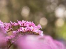 岩白菜属花大象有耳的saxifrage,大象` s耳朵桃红色开花  图库摄影