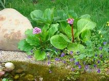 岩白菜属crassifolia蒙古saxifrage茶 免版税库存照片