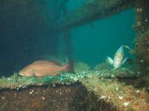 岩石后面&蓝色神仙鱼-杜邦Bridgespan 库存图片