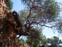 岩石和杉树 库存图片