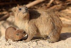 岩石哺乳它的孩子的非洲蹄兔母亲 免版税库存图片