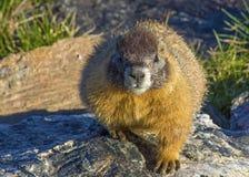 岩石土拨鼠的山 免版税图库摄影