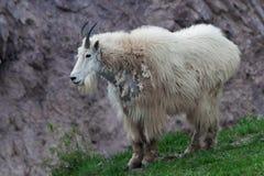 岩石山羊的山 免版税库存照片