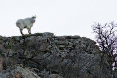 岩石山羊的山 免版税图库摄影