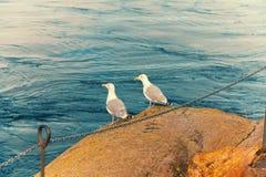 岩石海鸥二 库存照片