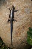 洗岩石的一只黑蜥蜴太阳巴恩 免版税库存图片