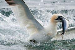 岩石的低音潜水钓鱼的食物gannet 库存照片