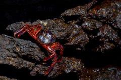 岩石的巨蟹星座 免版税库存图片
