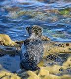 岩石的斑海豹小狗基于 库存图片