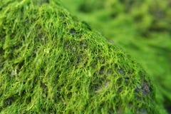 岩石的海藻 库存图片
