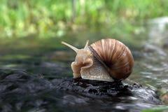 岩石的蜗牛超级明星在水中 库存图片
