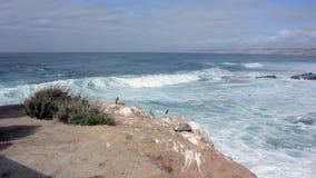 岩石的鹈鹕基于在碰撞的波浪上 股票视频