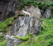 岩石绵羊 免版税图库摄影